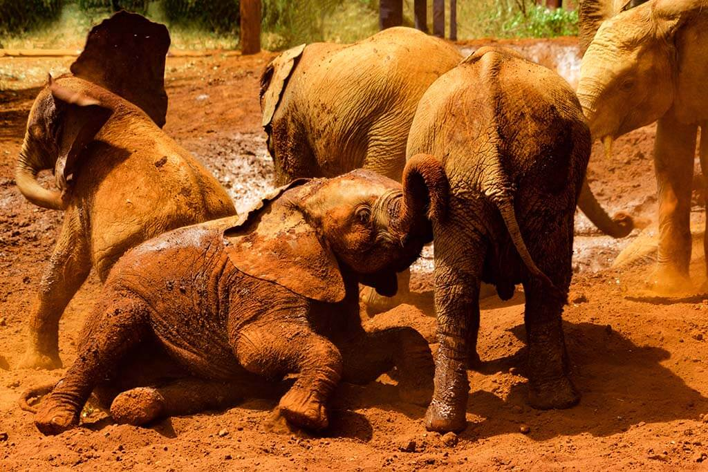 David Sheldrick Elephants in Nairobi